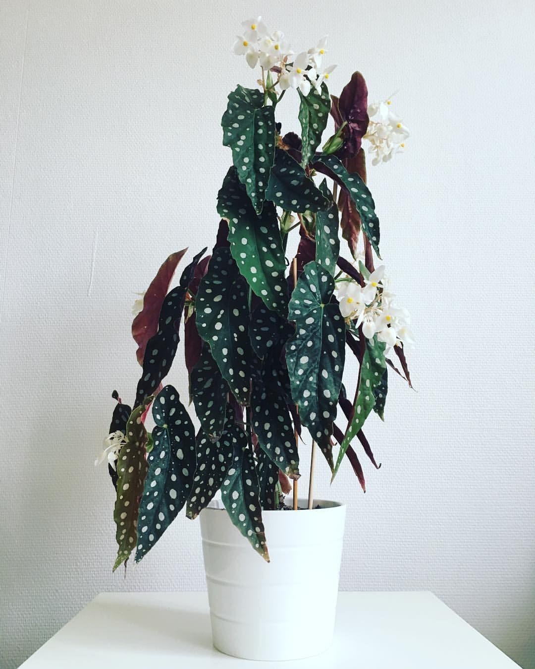 "- P L A N T A T I O M E A (@plantatiomea) on Instagram: ""I just love her! #prickbegonia #begoniamaculata #houseplantclub #polkadotbegonia #indoorplants…"""
