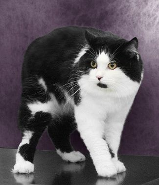 Black And White Bi Color Manx Cat Breeds All Cat Breeds Cymric