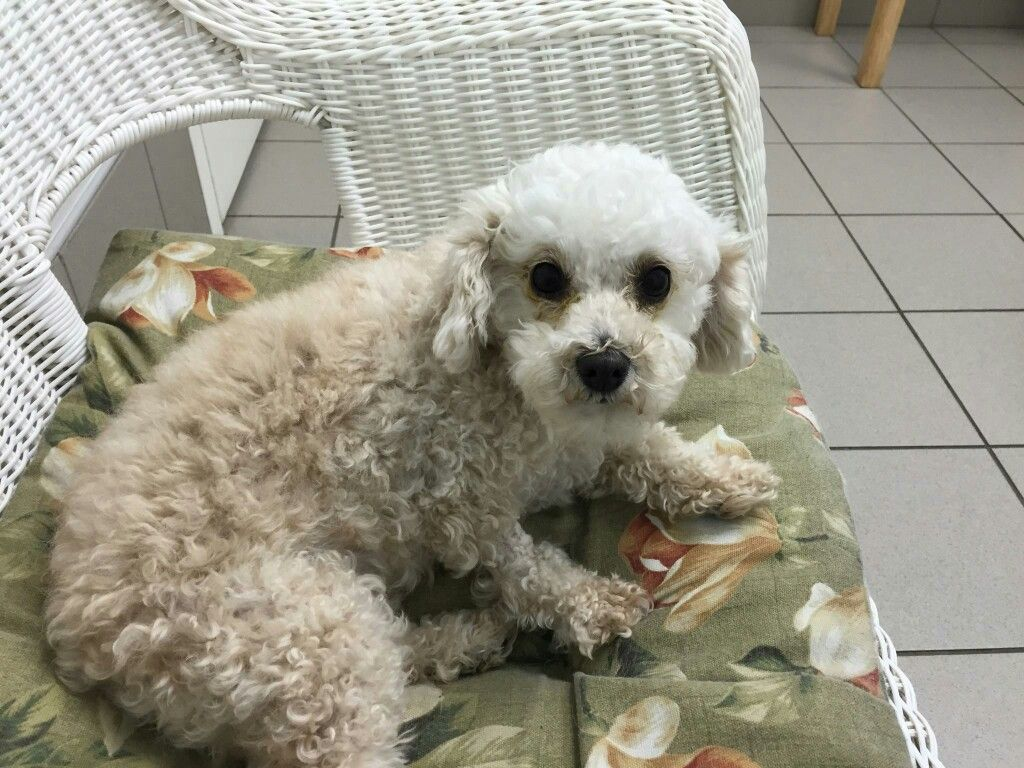 Mila Still Improving After Double Cataract Surgery Poodle