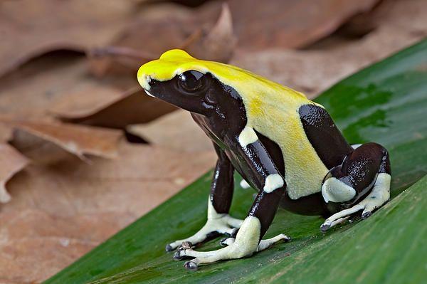 Yellow And Black Poison Dart Frog By Dirk Ercken Poison Dart