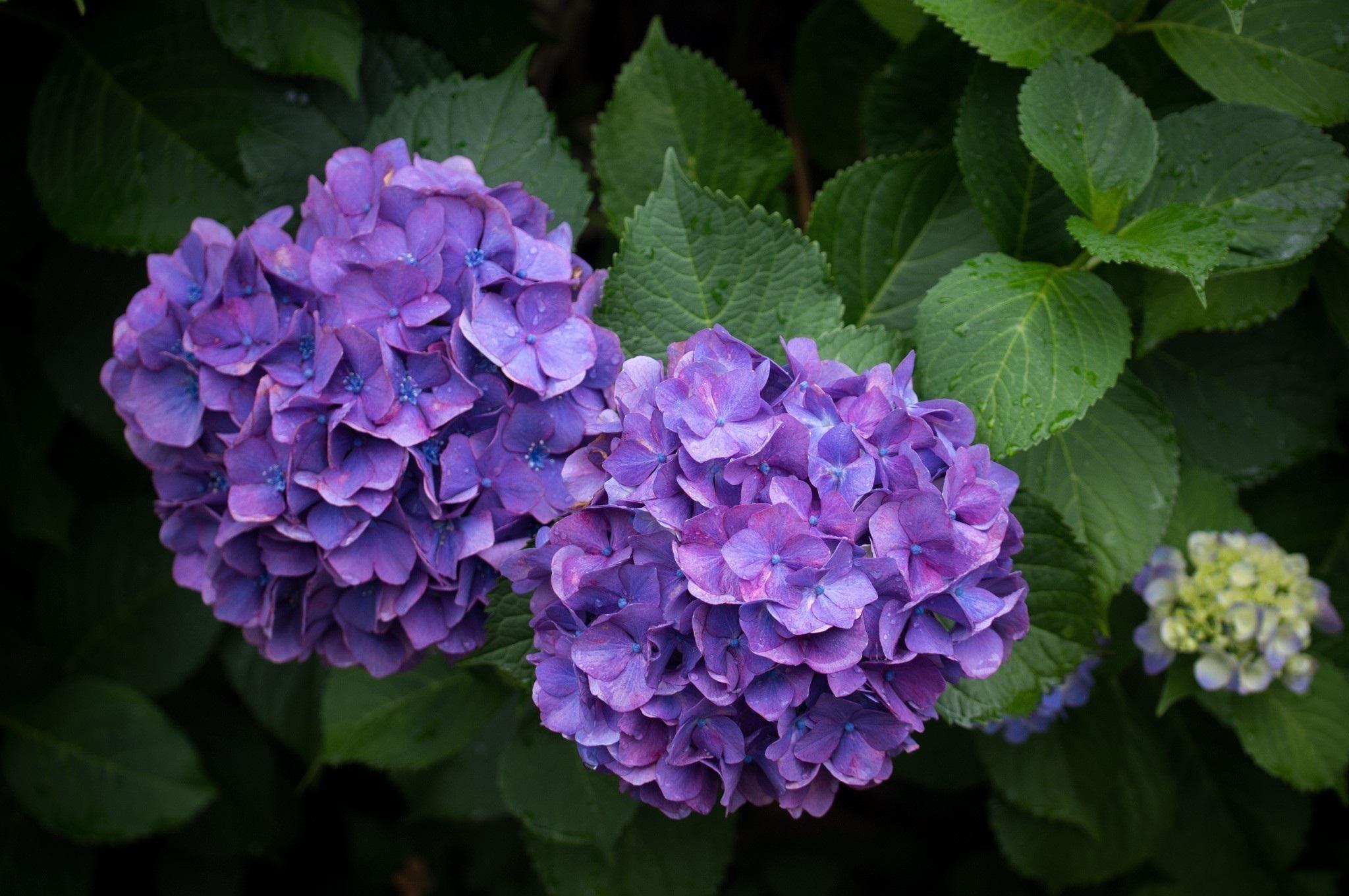 Blue Hydrangea Hd Wallpaper Blue Hydrangea Violet Flower Hydrangea Bloom