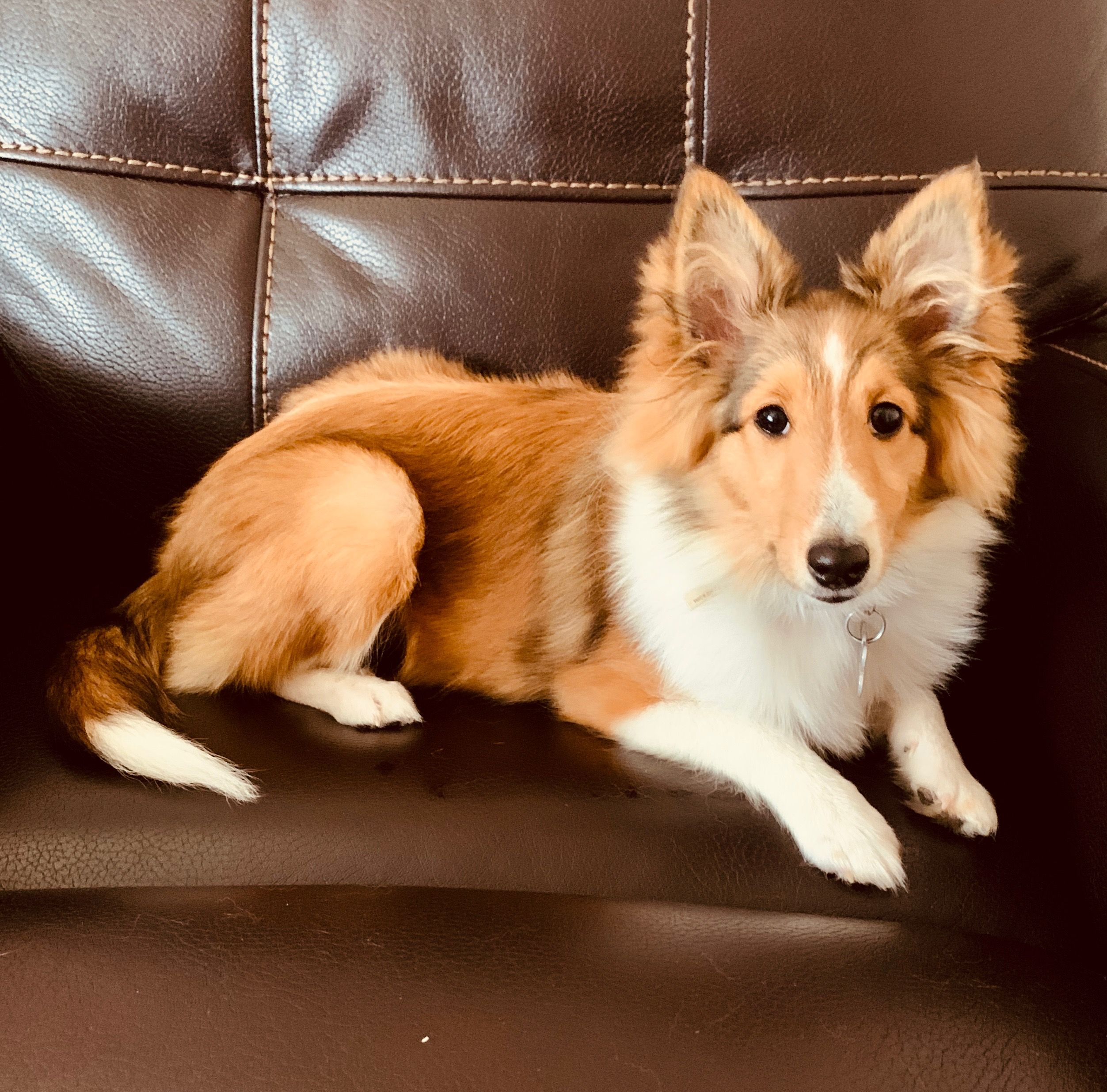 Meadow 5 Months Old 2019 5 Month Olds Sheltie Corgi