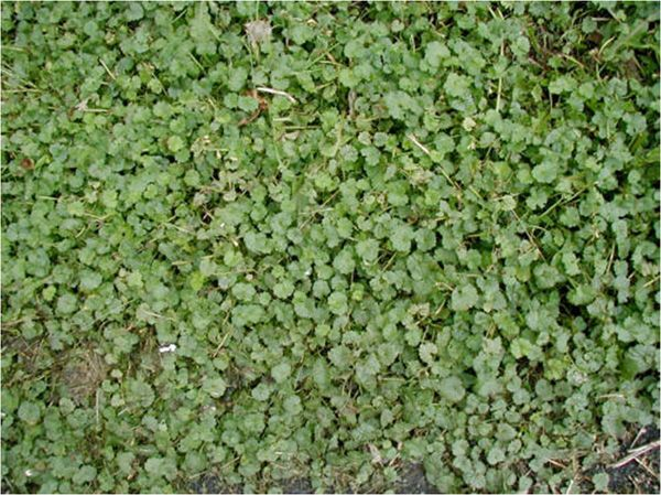 Ground Ivy Lawn Weeds Blue Or Purple Flowers Groundivy Lawnweeds