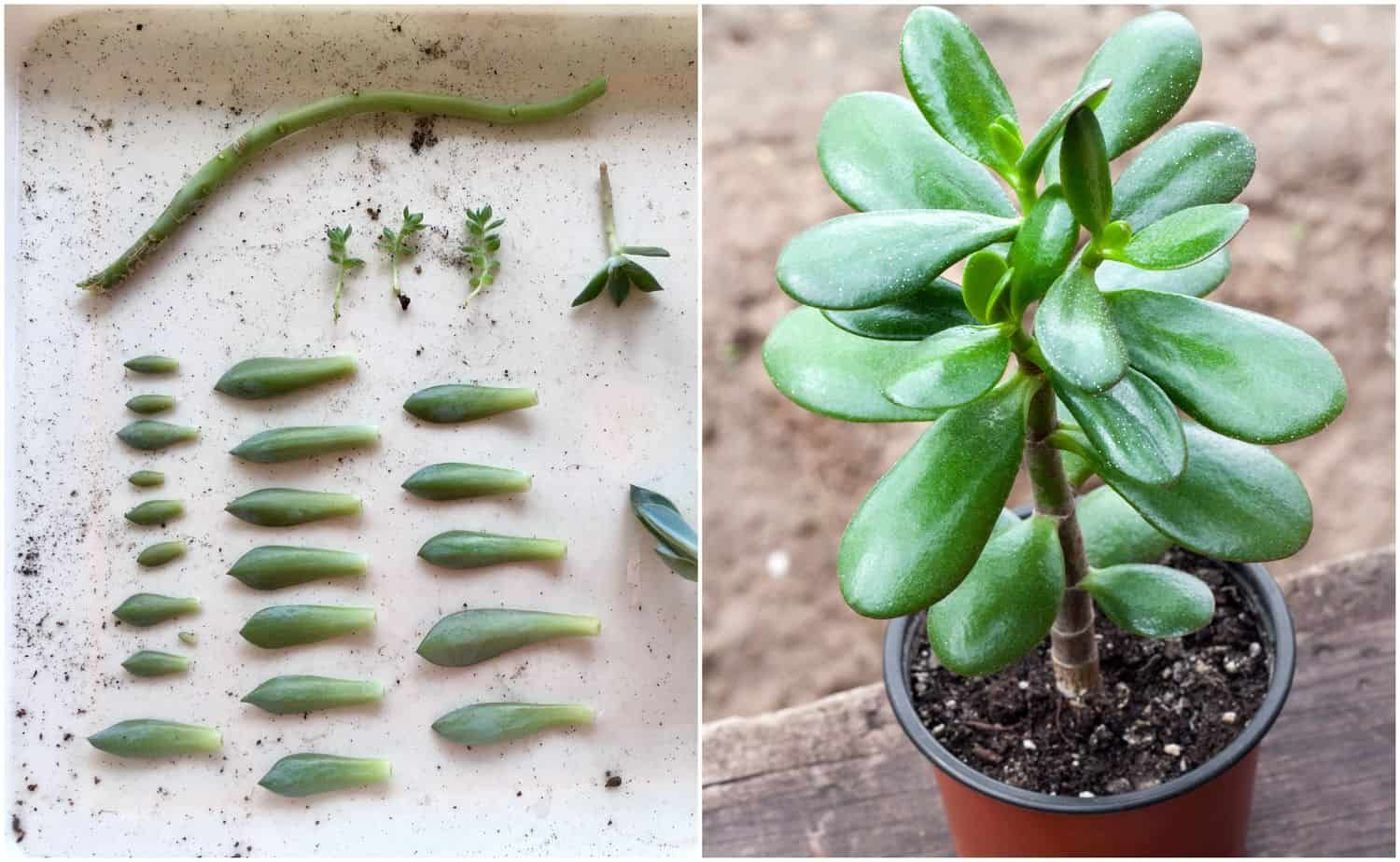 3 Easy Ways To Propagate Succulents From Leaf Stem Or Branch Cuttings Propagate Succulents From Leaves Propagating Succulents Succulents