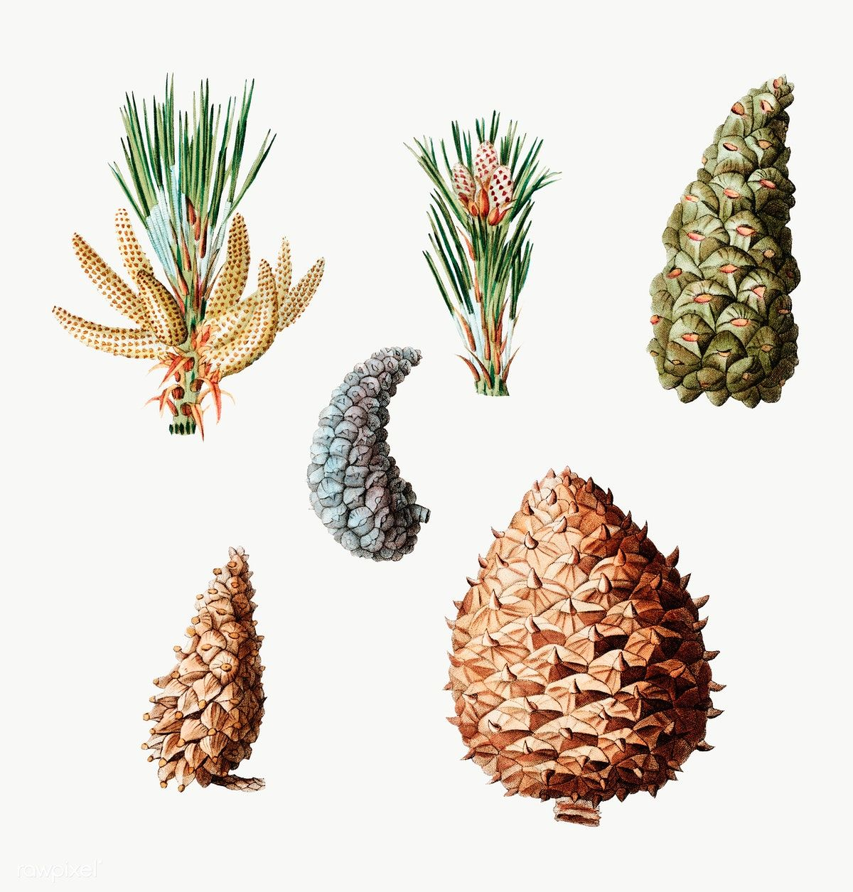 Pine Cone Png Image Pine Cones Cone Pine