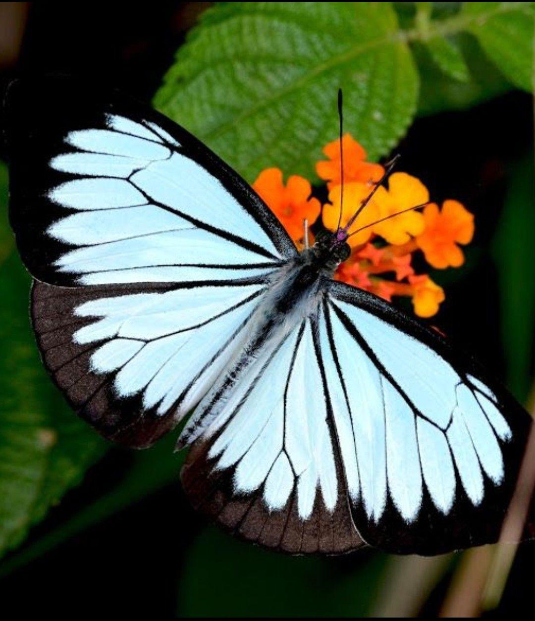 Pin On Mariposas