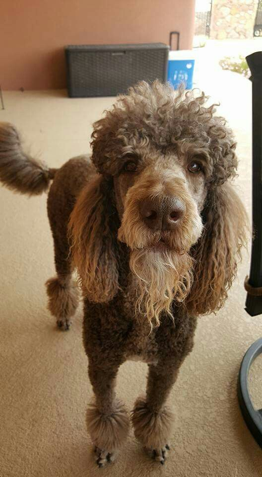 Pin By S Rich On Poodles Etc Pinterest Poodle Poodle