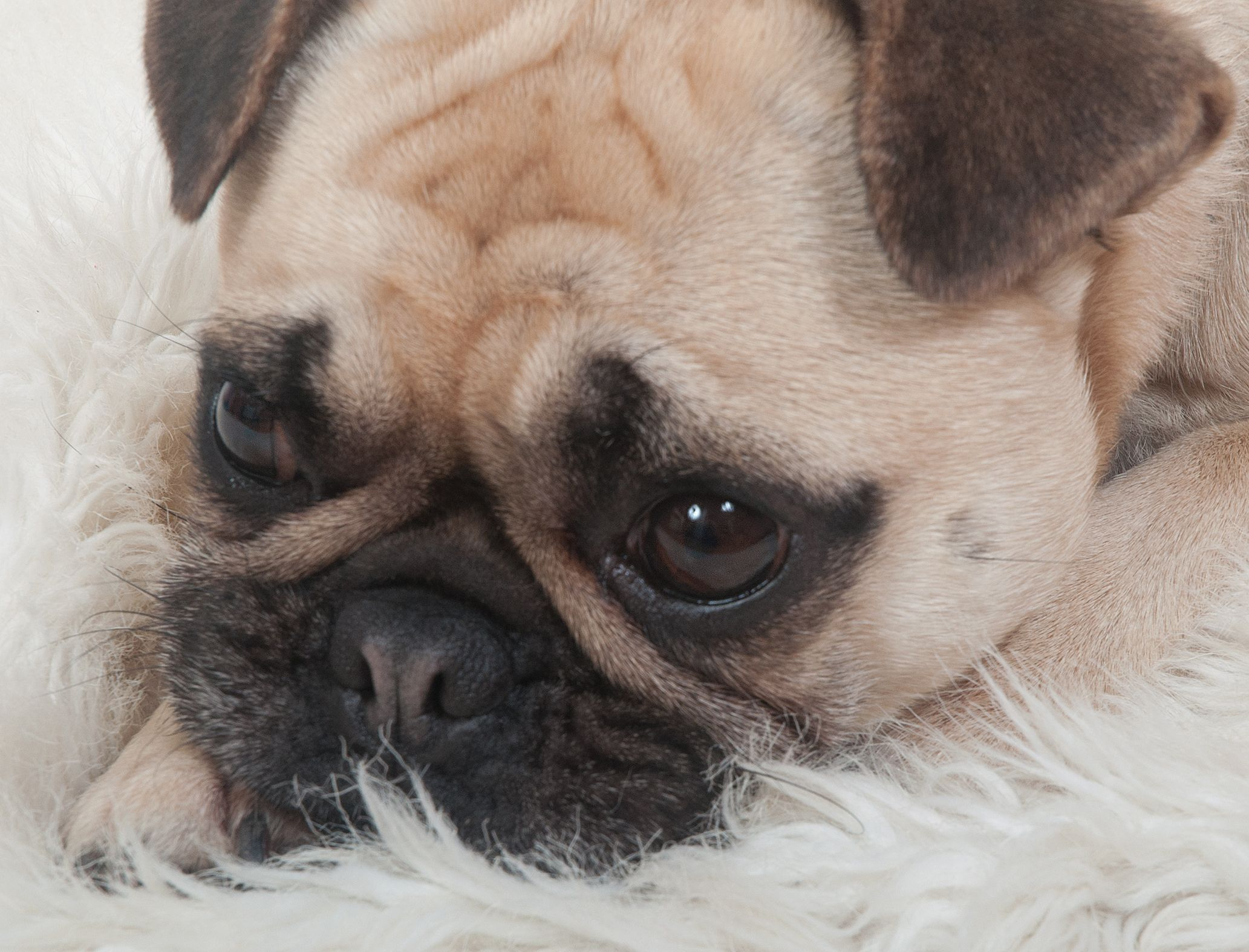 #frug #pug #frenchbulldog #frenchie #frenchiepug #dogsofinstagram #dog #frenchiesofinstagram #pugsofinstagram #puglife #squishyfacecrew #bulldog #petsofinstagram #puppylove #instagramdogs #fruglife #frugsofinstagram #fruglove #photographernorthlondon #herrickphoto