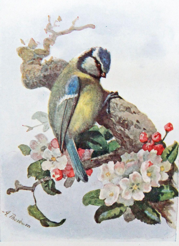 Blue Tit - Antique Bird Print Vintage Illustration