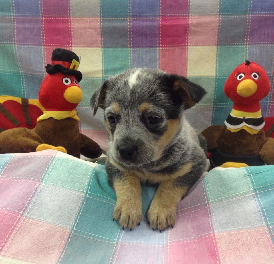Blue Heeler Puppy Blue