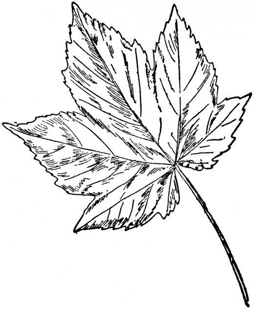 Leaf Printable Coloring Pages Sycamore MapleFishing