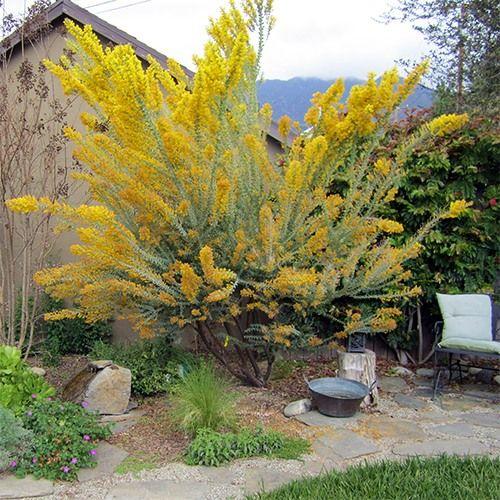 Knifeleaf Acacia Acacia Cultriformis Budget Plants Final Plant