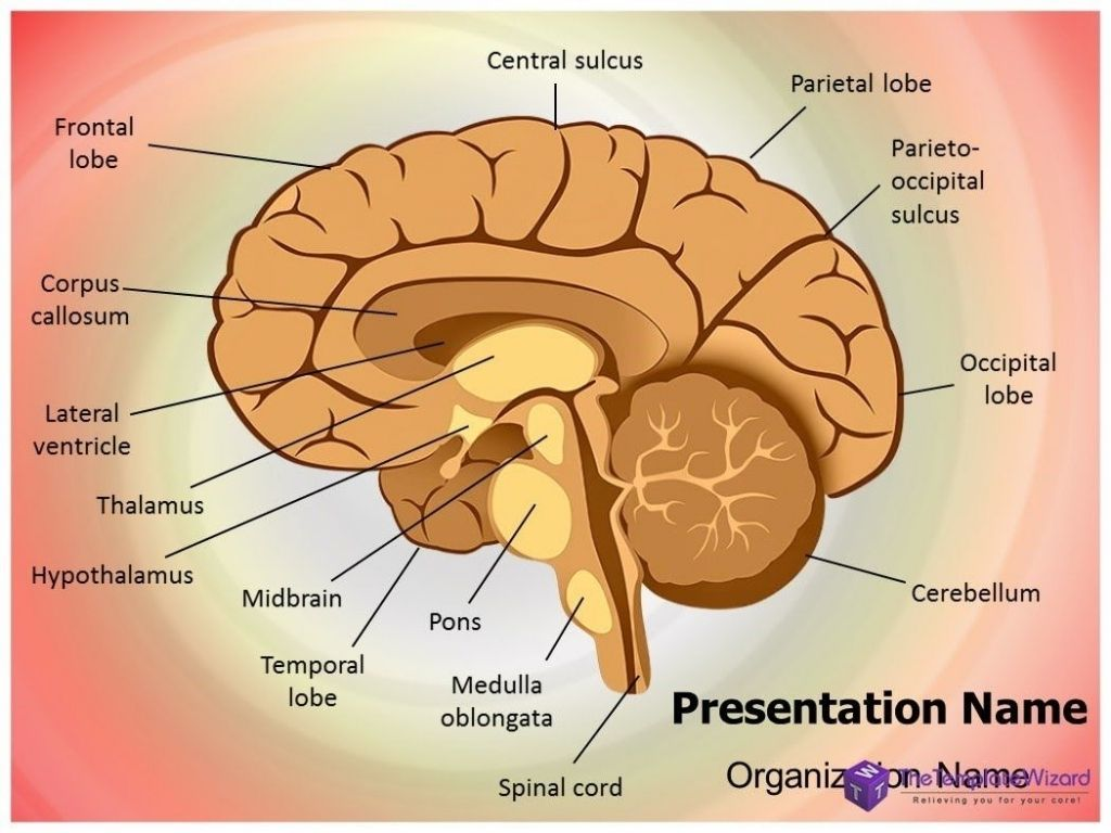 Internal Structure Of The Brain Inner Parts Of Brain