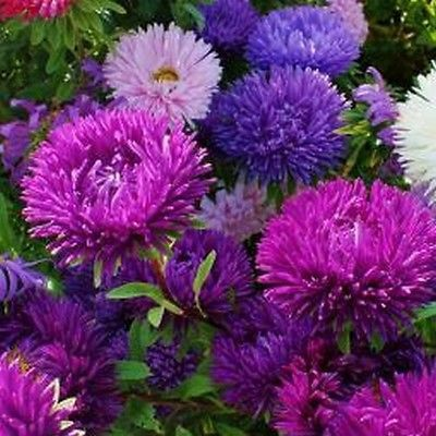 Aster Double Gremlin Mix Flower Seeds Callistephus Double Gremlin 50 Seeds Zones 3 9 Flower Seeds Aster Flower Planting Flowers