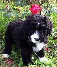 Berner Mountain Bernedoodles Bernedoodle Puppies For Sale
