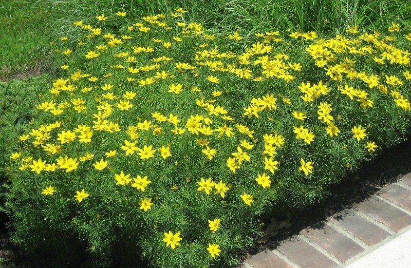 Coreopsis Zagreb A Very Hardy Summer Blooming Perennial Easy Color For A Sunny Part Of The Landscape Plants Drought Tolerant Perennials Landscape Plan