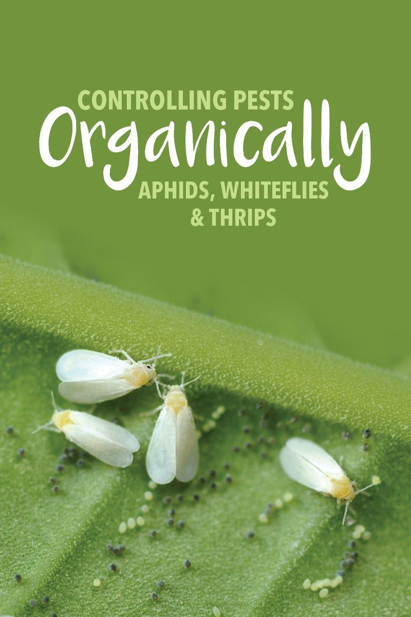 Controlling Pests Organically: Aphids, Whiteflies, and Thrips | The