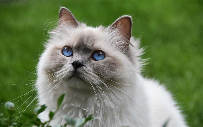 Download wallpapers Ragdoll, big fluffy gray cat, cute
