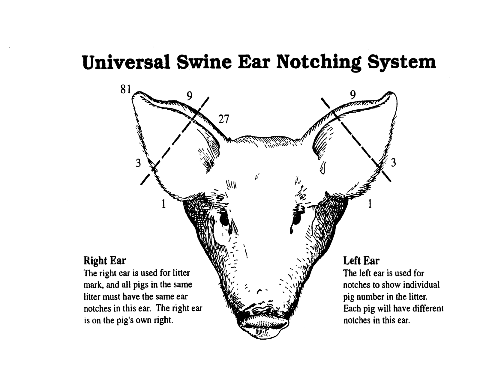 medium resolution of pig ear notches universal swine ear notching system stock show pig skeleton diagram pig ear diagram