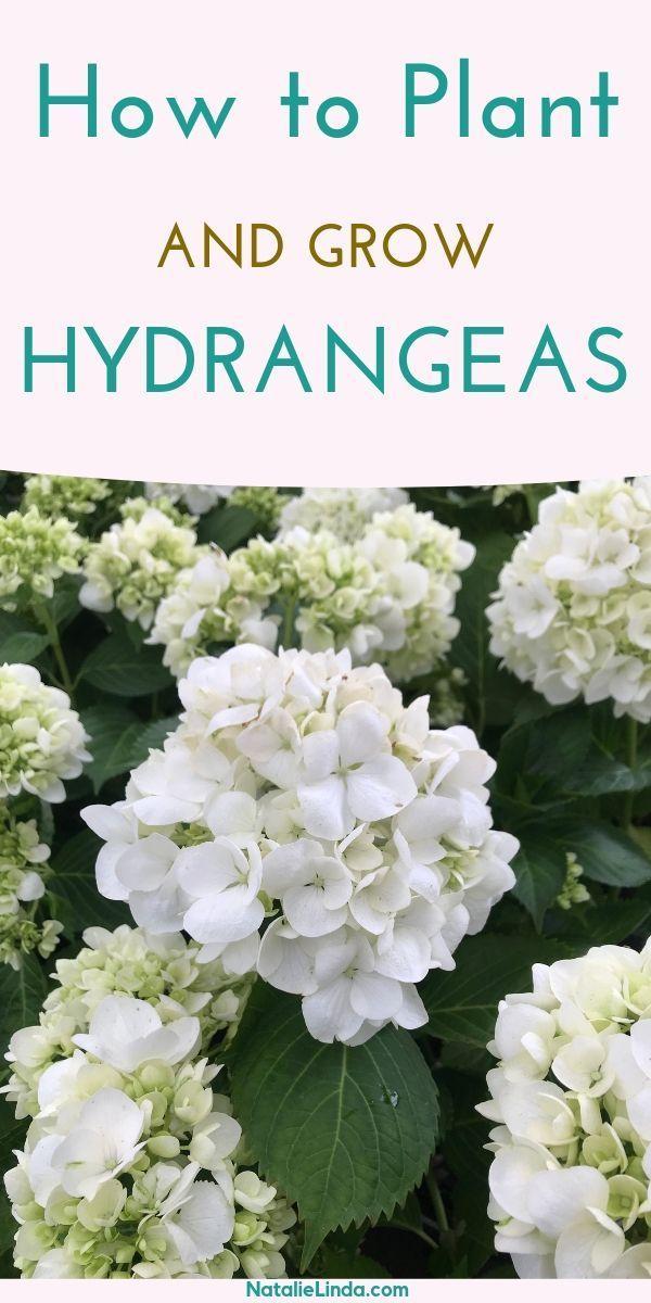 How To Grow Hydrangeas In Your Garden Flower Garden Growing Tips