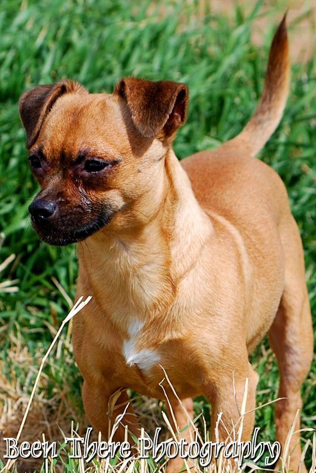 Schweenie Dog For Adoption In Midland Tx Adn 487075 On