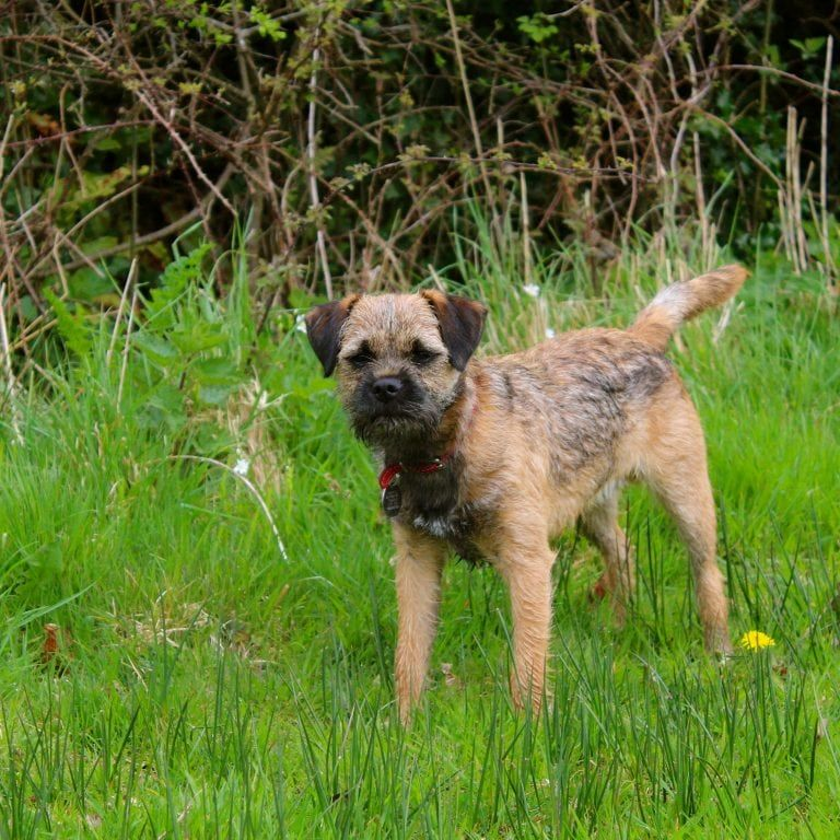 Border Terriers Coat Of Many Colours Pitbull Terrier Border Terrier Terrier