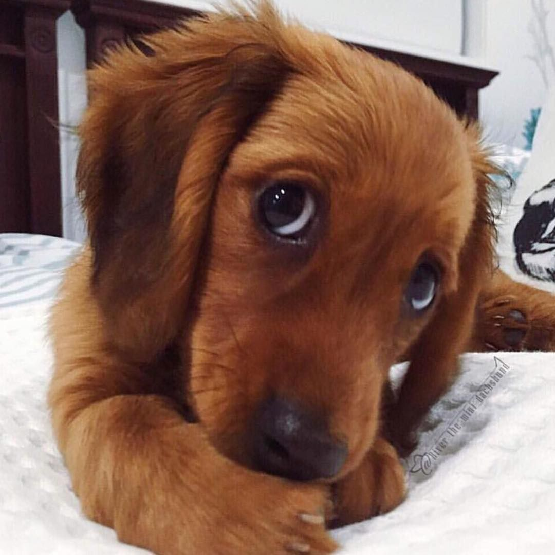 Picture By River The Mini Dachshund Puppies Puppy Dog Eyes