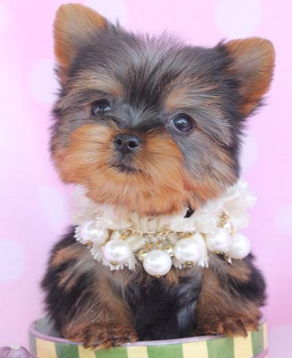 Adorable Yorkie Puppies For Sale At Teacups Puppies In South
