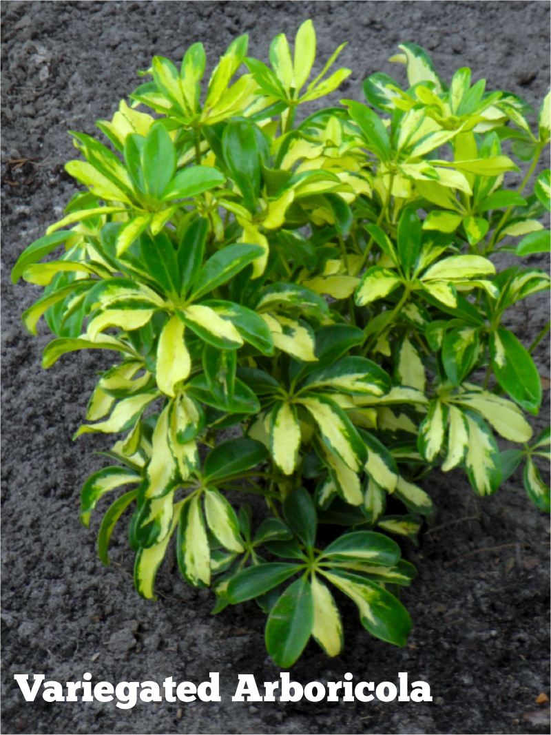 Variegated Arboricola A Showy Easy Care Member Of The Schefflera Family This Shrub Is Perfect Anchor Plant For Sun Or Shade Beds