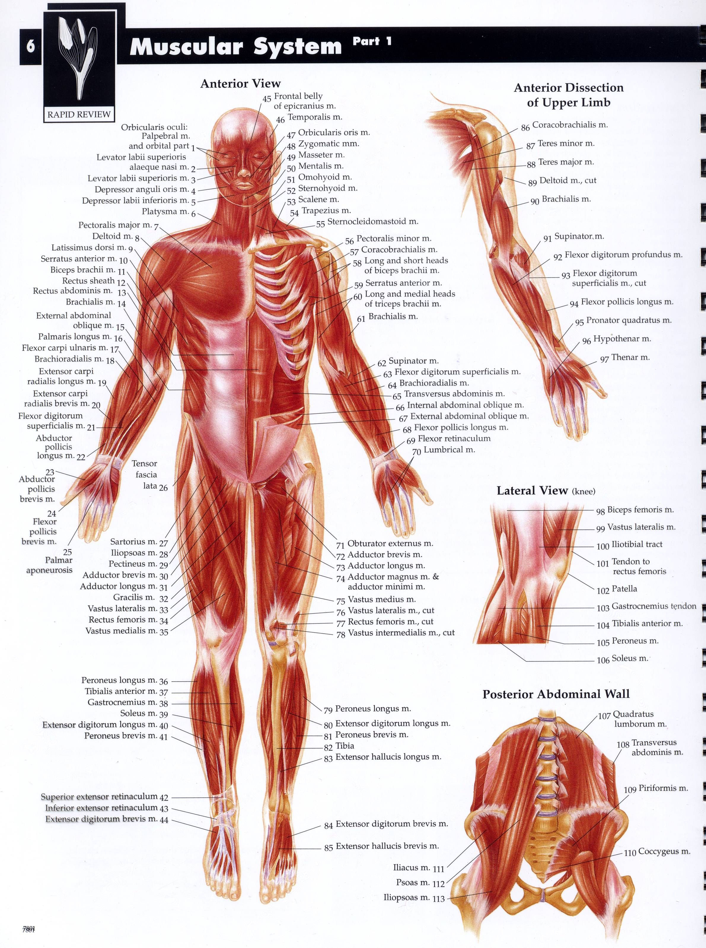 muskular system   Drawing Tutorials: Bones & Muscles - Human Anatomy ...