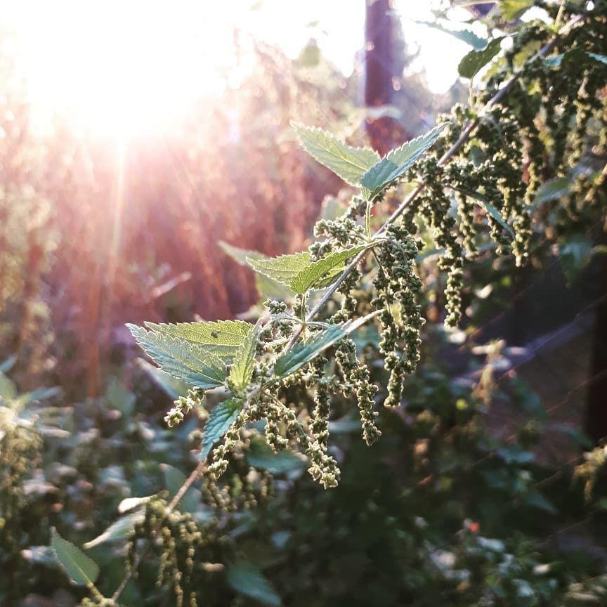 Fur Manche Nur Unkraut Aber Fur Mich Gerade In Der Abendsonne Immer Wieder Schon Anzuschauen Brennessel Melde Und Goldrute Ga Plants Garden