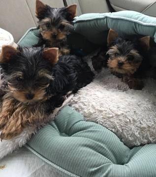 Yorkshire Terrier Puppy For Sale In San Diego Ca Adn 27627 On Puppyfinder Com Gender Female Age Yorkshire Terrier Puppies Yorkshire Terrier Dog Personality