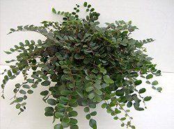 Button Fern House Plant Care Tips Pellaea rotundifolia Ferns
