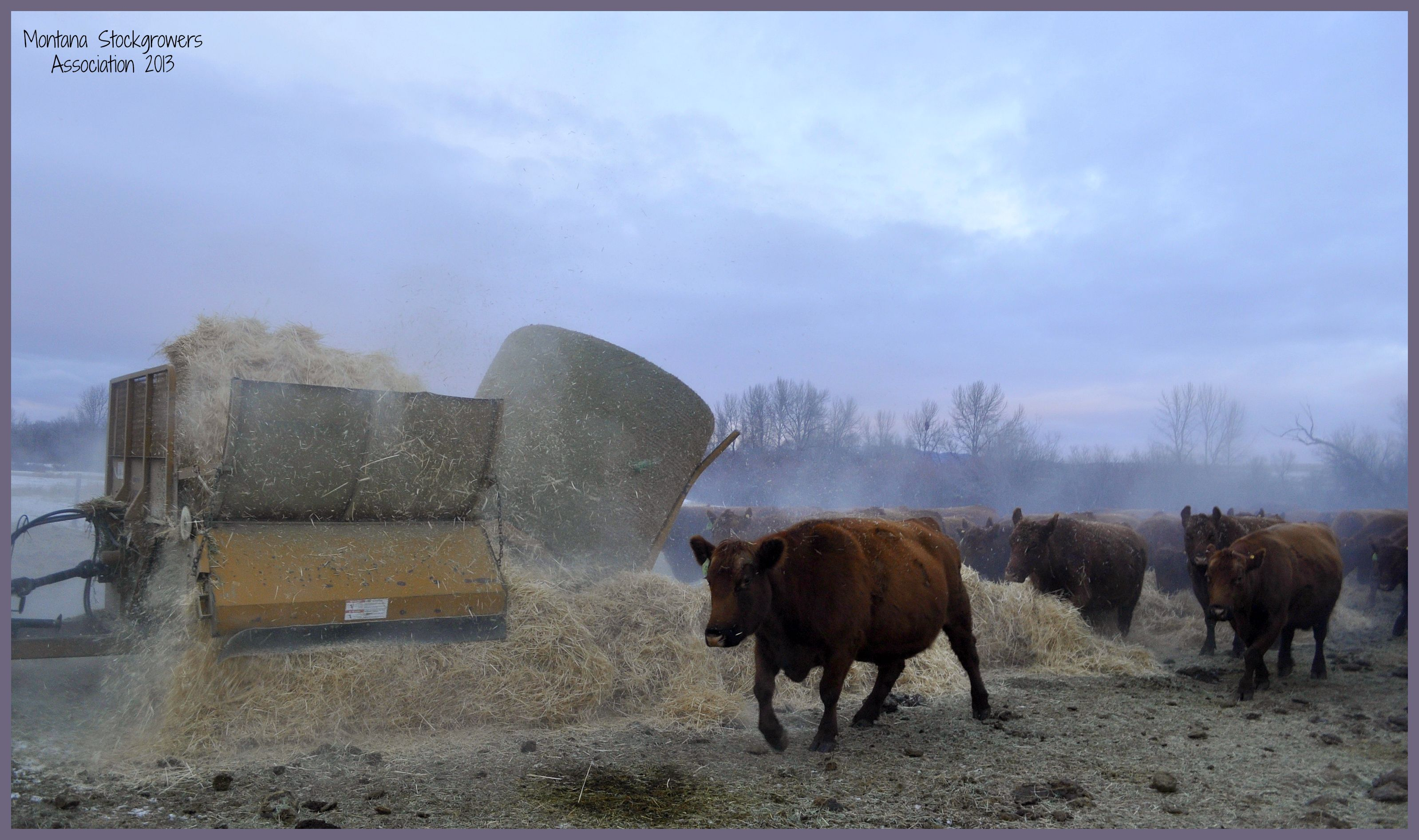 Feed Hay Feeding The Cows In Montana It S Winter So Ranchers Must Feed Hay