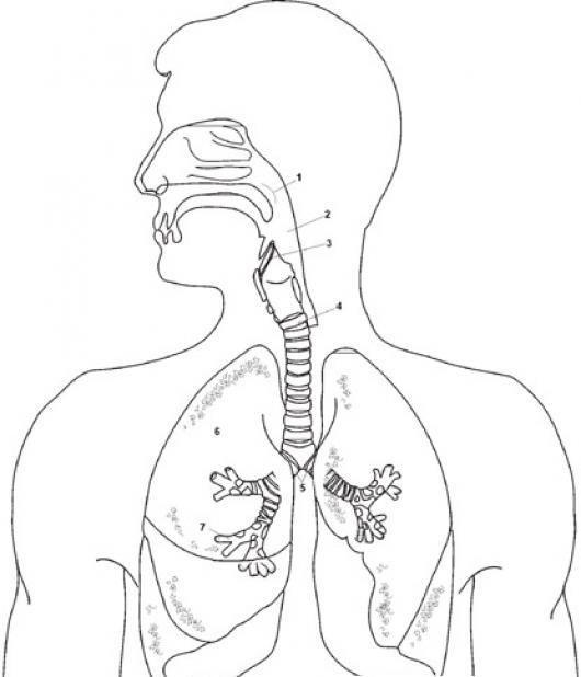 Aparell Respiratori Imagenes Del Aparato Respiratorio Respiratorio Sistema Respiratorio Dibujo