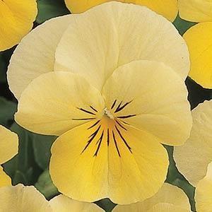 Sorbet Lemon Chiffon Viola Annual Flower Seeds Swallowtail