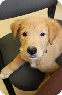 Adoptable Dog Noah Golden Retriever Mix Manhattan Ny Pets