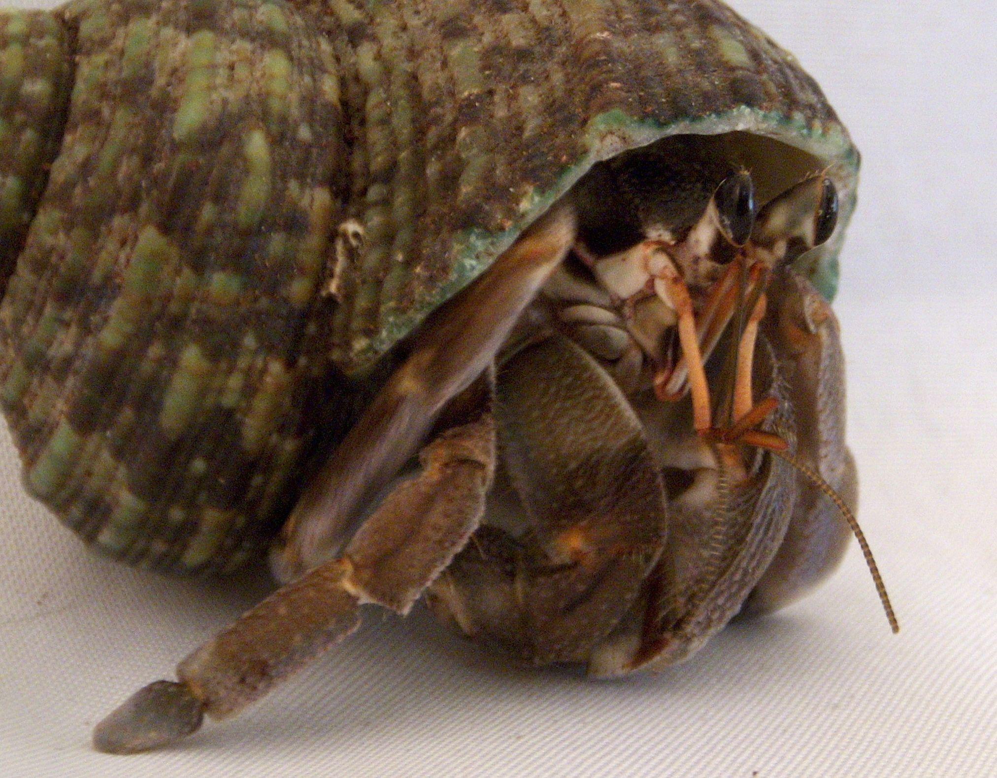 Coenobita Rugosus Hermit Crab Species Description Page