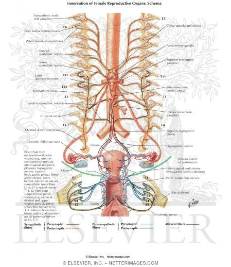 Innervation Of Female Reproductive Organs Schema Anatomy