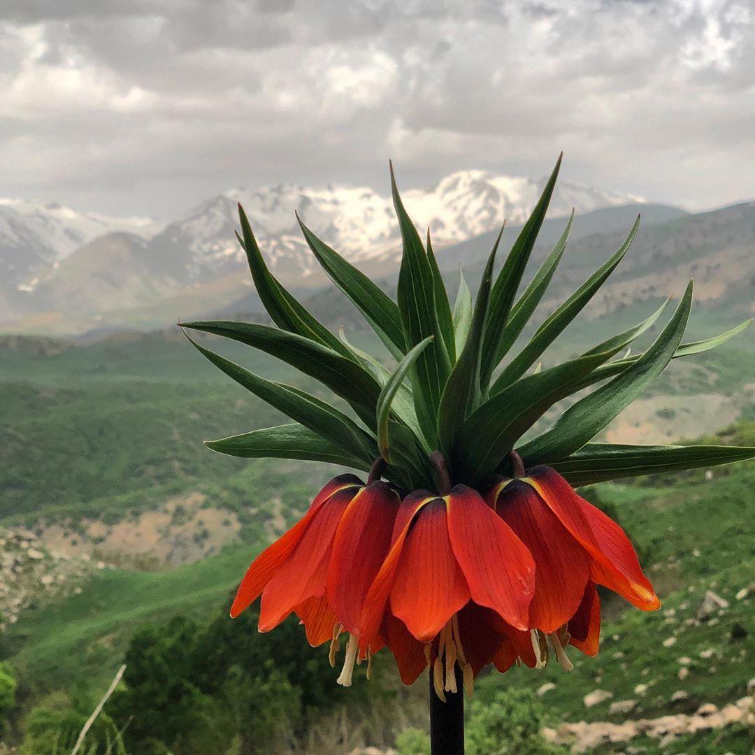 Fritillaria Imperialis Ters Lale Kesinlikle Uzak Arkada Dag Kar Cicek Milli Park Cayir Cimen Doga Bulut Orman Degil Cicek Laleler Cim