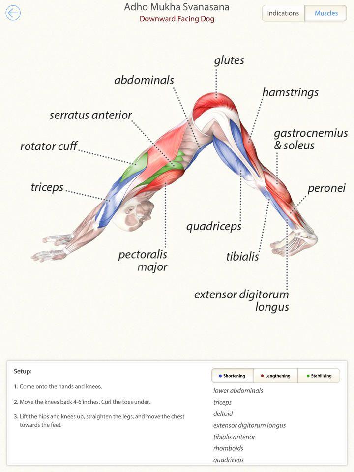 Down facing dog #yoga #anatomy | Exercises | Pinterest | Yoga ...