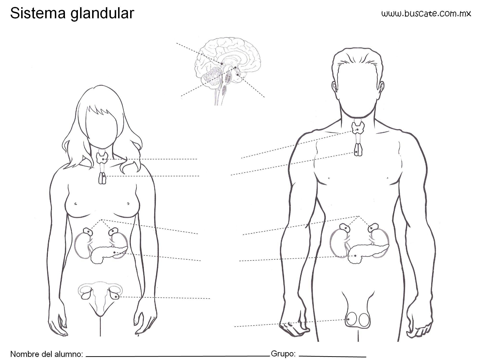 Esquema Del Sistema Glandular Sin Los Nombres De Sus Partes