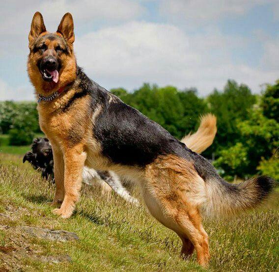 Pin By Nicole Longendyke On Animals German Shepherd Dogs