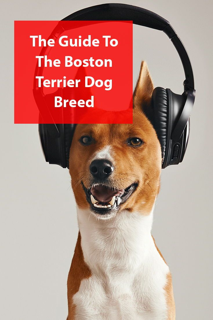 Boston terrier breed information boston terrier dog