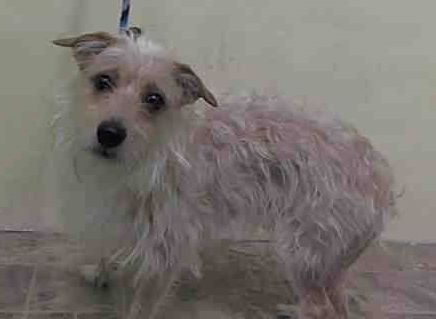 SAFE - 03/04/15 by Amsterdog Animal Rescue --- Manhattan Center ANTEROS - A1028003 *** DOH HOLD 2/14/15 *** MALE, WHITE, WEST HIGHLAND / MALTESE, 2 yrs STRAY - ONHOLDHERE, HOLD FOR DOH-HB Reason ATT PEOPLE Intake condition UNSPECIFIE Intake Date 02/14/2015 https://www.facebook.com/Urgentdeathrowdogs/photos/pb.152876678058553.-2207520000.1424041392./962326163780263/?type=3&theater