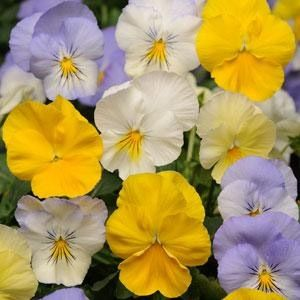Pansy Seed Mix Pansy Matrix Ocean Breeze Mix Pansies Flowers Pansies Flower Seeds