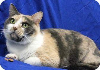 Blackwood Nj Domestic Shorthair Meet Silveretta Lawnside Petsmart A Cat Kitten Adoption Cats