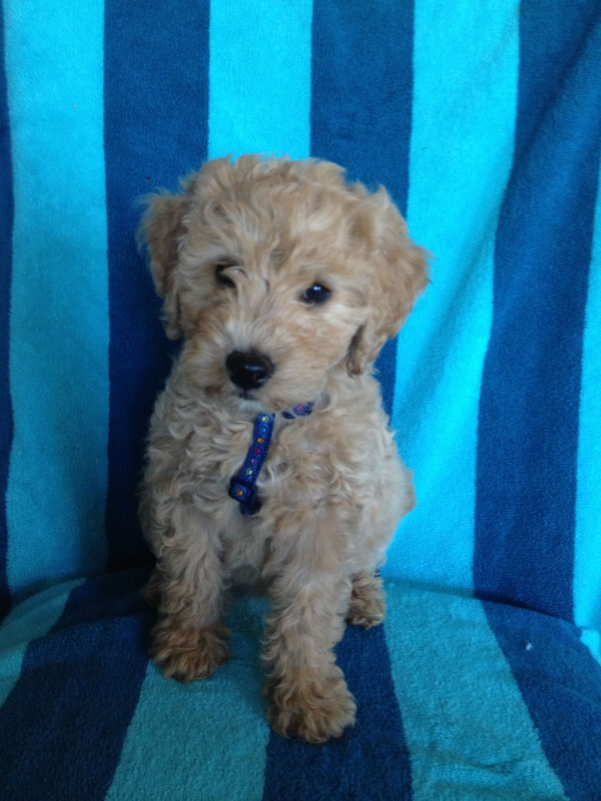 Mini Goldendoodle Puppy Toffee