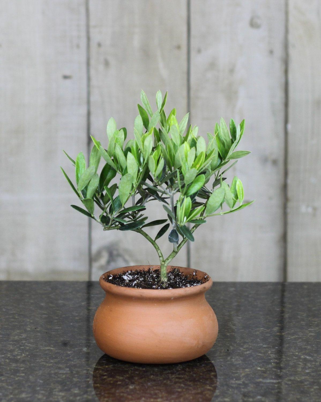 Washpot Olive Tree Topiary European Tuscany by