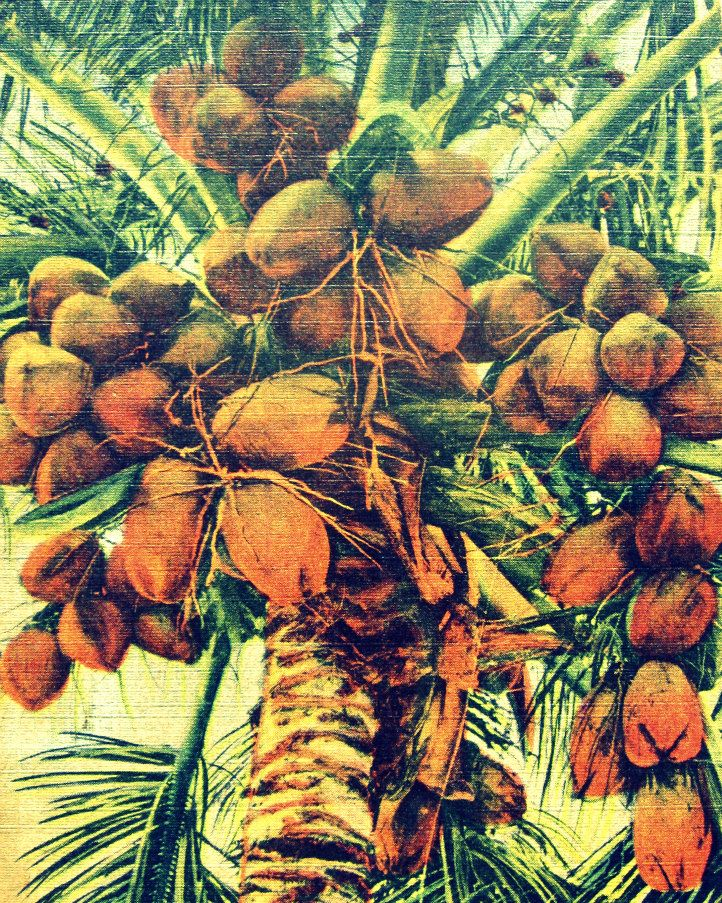 COCONUTS print 8x10 art photograph tropical deco by VintageBeach